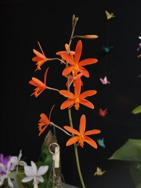 orquídeas Cattleya sanguiloba na exposição de orquídeas na liberdade