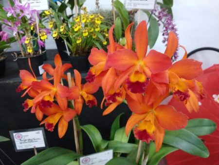 orquídeas laranja na exposição de orquídeas na liberdade