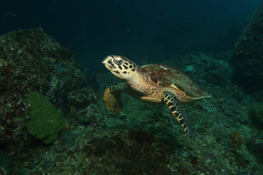 tartaruga mergulho tailândia