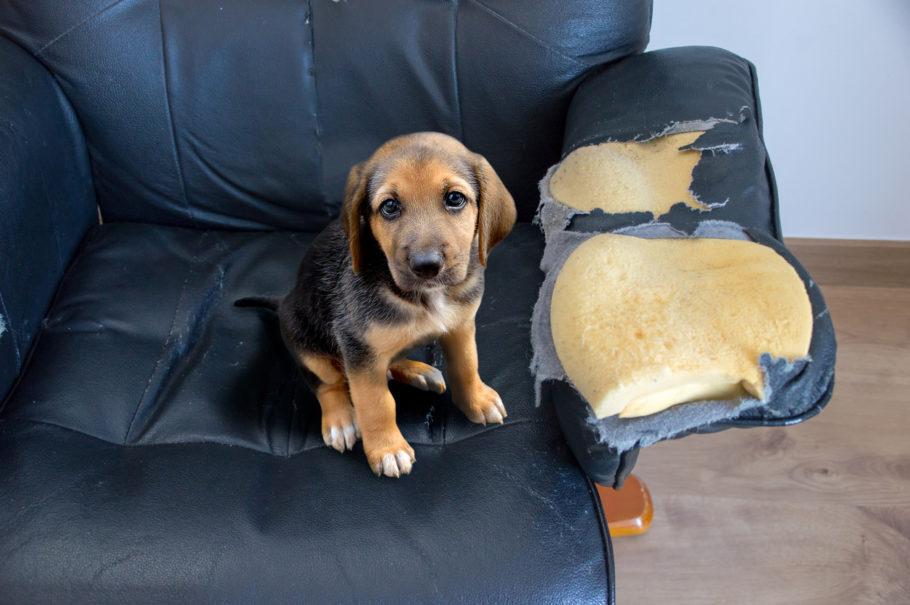filhote de cachorro no sofá rasgado