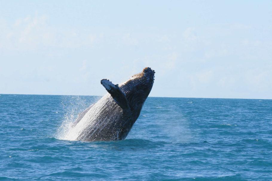 baleia jubarte em Abrolhos