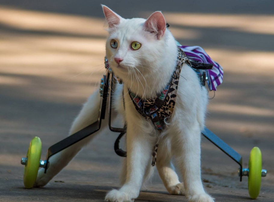 gato branco em cadeira de rodas própria para ele