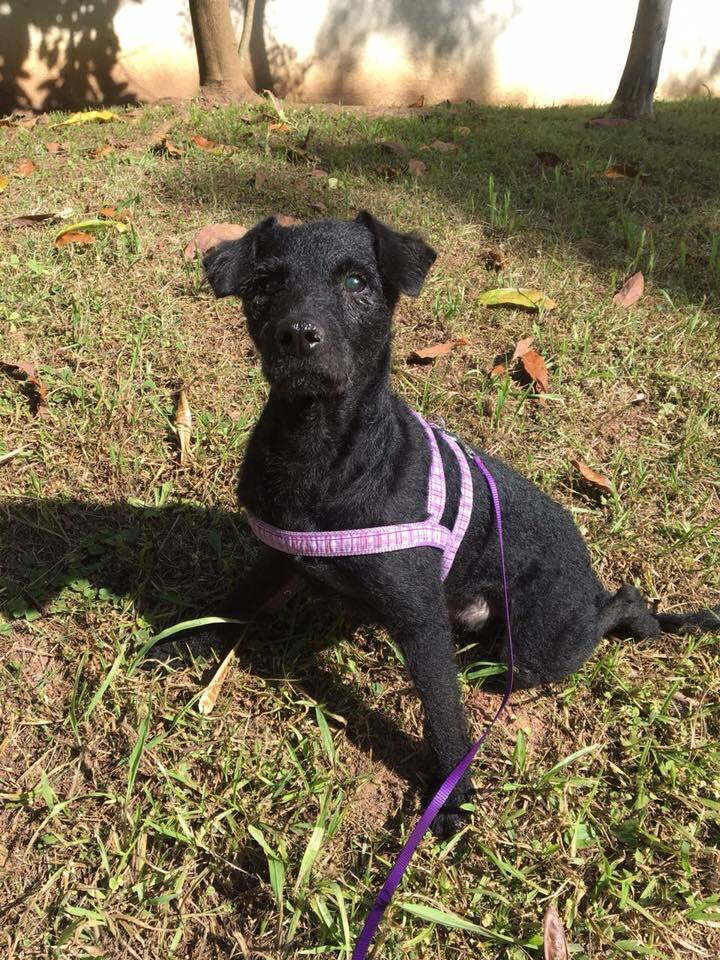 cachorro idoso e de pelo preto sentado em um gramado