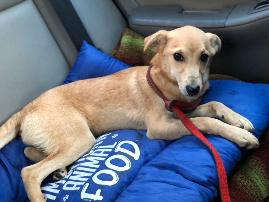 cachorro caramelo deitado no banco do carro