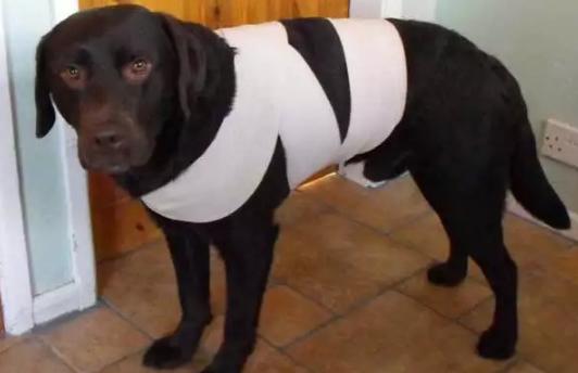 cachorro com uma faixa enrolada no corpo