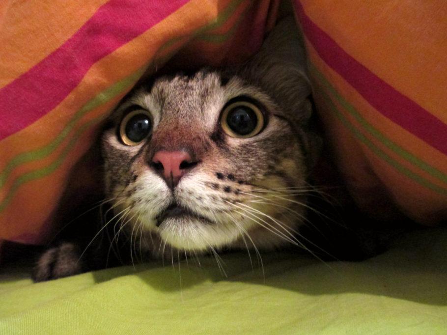 gato escondido embaixo da coberta