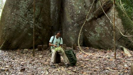 Samaúma gigante da Floresta Nacional do Tapajós, em Belterra, no Pará