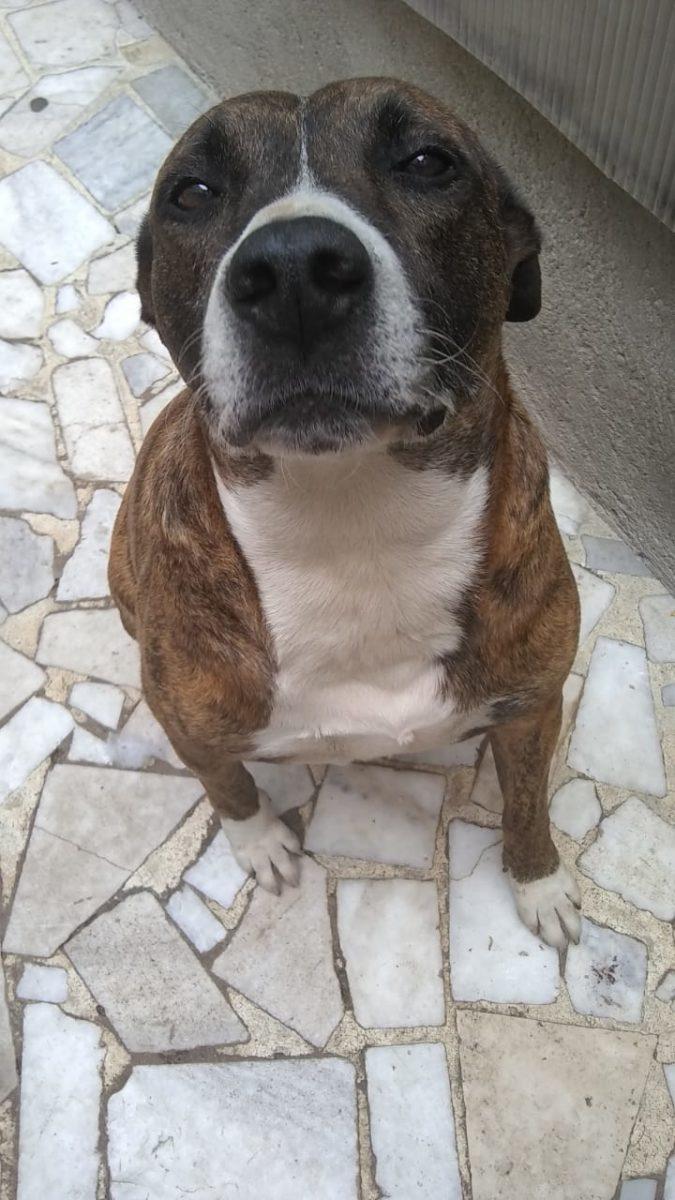 cachorro mistura de pitbull com a carinha doce