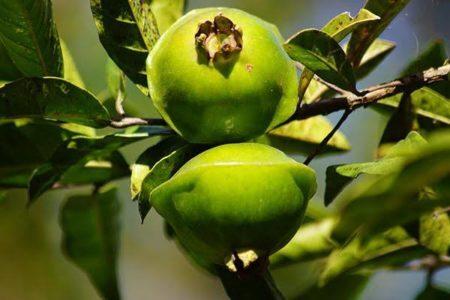 cambuci fruta em extinção
