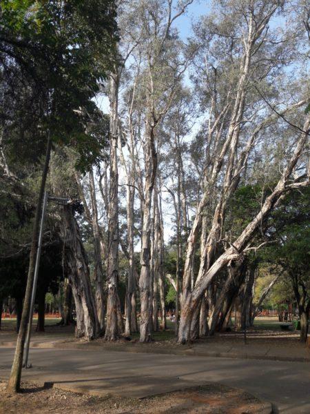 identificando arvores é uma das caminhadas do parque ibirapuera