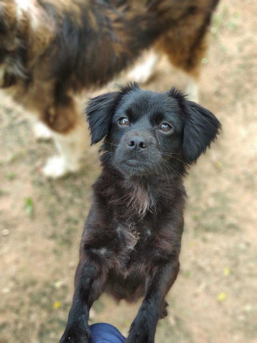 cachorrinha pequena com o pelo preto