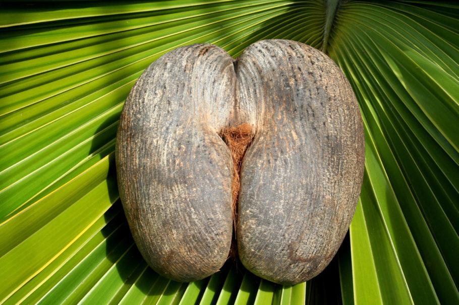 Árvore coco de mer