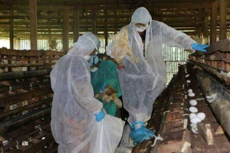 coronavírus gripe aviária