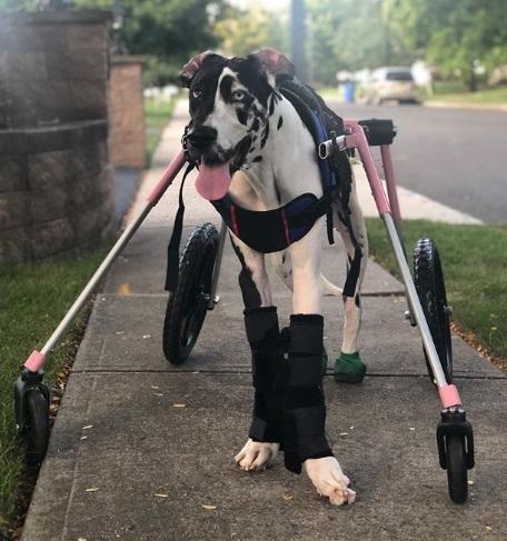 cachorra tetraplégica