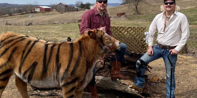 vaca pintada para parecer tigre