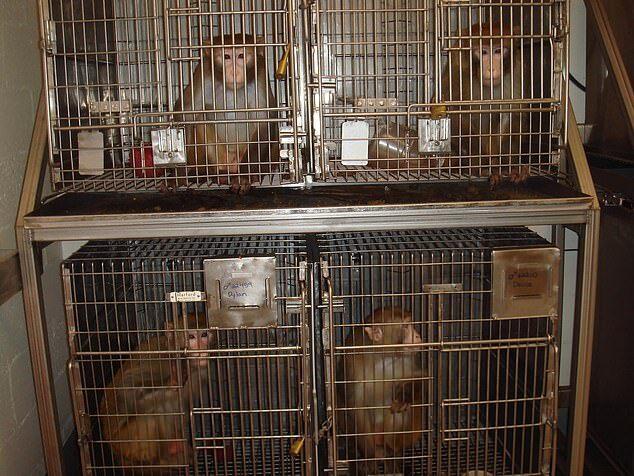 macacas presas em jaulas