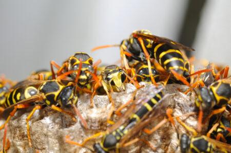 vespa asiática