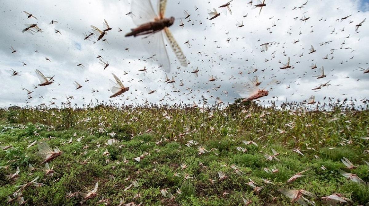 Argentina encontrou uma forma de combater a nuvem de gafanhotos