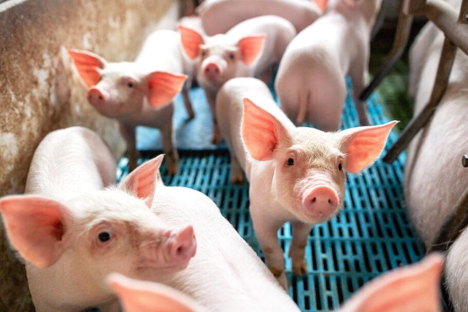 vírus encontrado em porcos