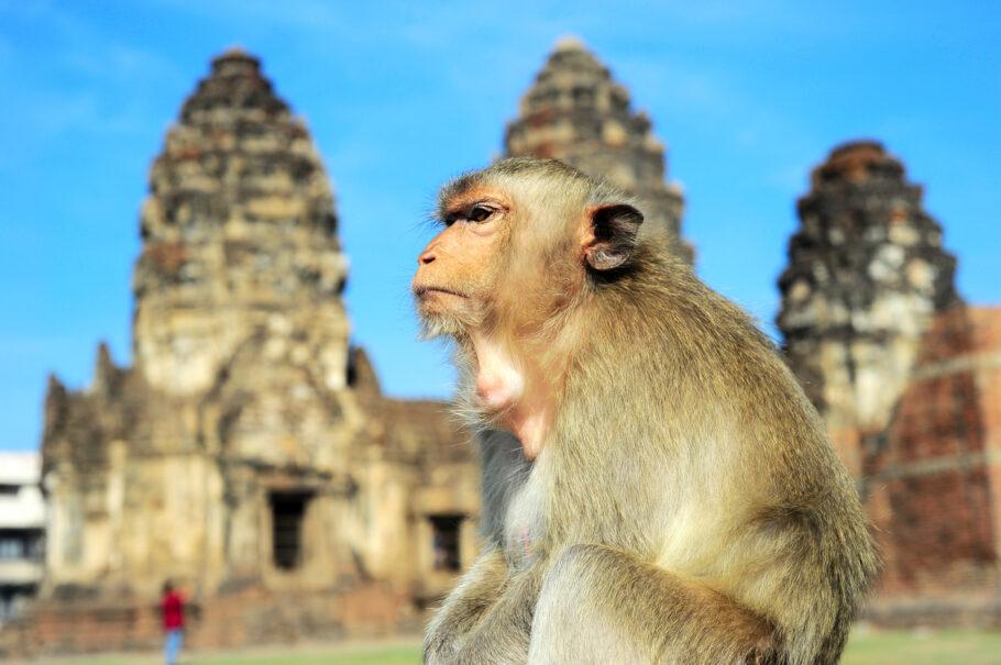 Lopburi, na Tailândia, é o lar de milhares de macacos selvagens que perambulam pelas ruas e edifícios