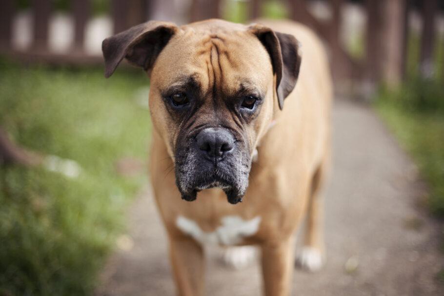 cachorro diagnosticado com coronavírus