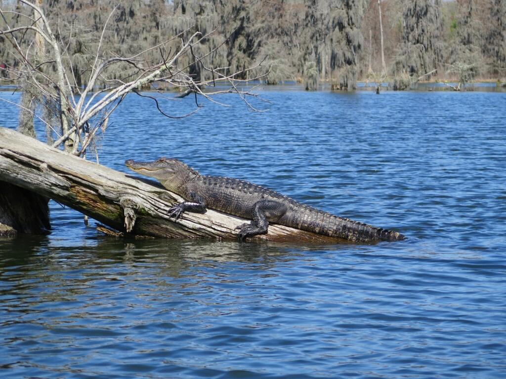 Louisiana_foto_crocodilo_no_Pantano_-_Ana_Paula_Garrido