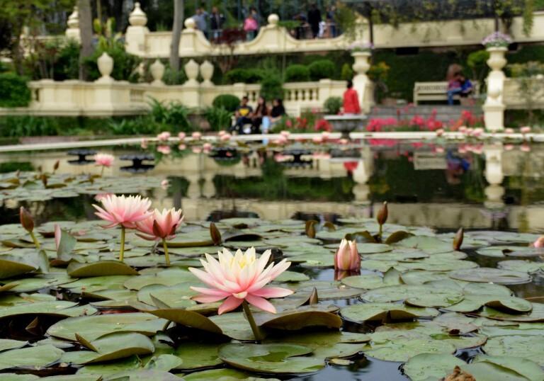 Flor de lótus no Jardim dos Sonhos