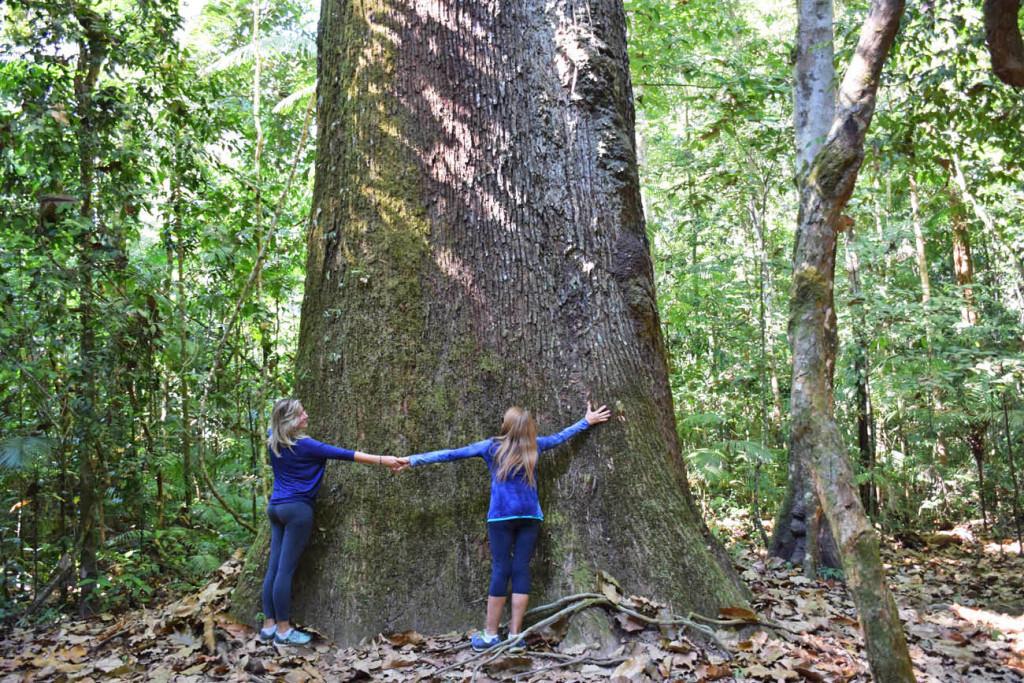Tentando abraçar uma Castanheira que tem entre 500 a 700 anos de idade, na Reserva do Cristalino, Amazônia