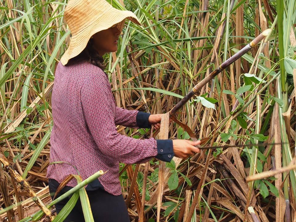 Colhendo cana para o feitio de açúcar mascavo em parceria com produtores locais