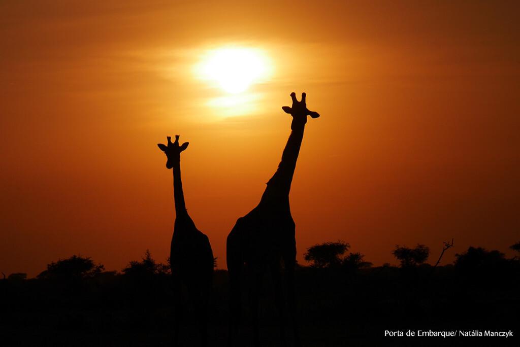 Girafas no amanhecer no Serengueti
