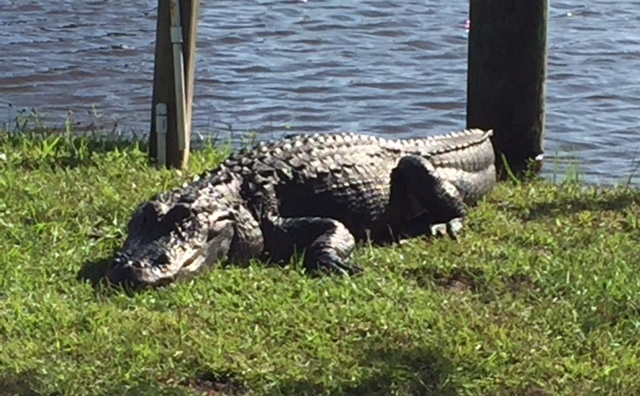 Passeios de barco e jacarés tomando sol em Everglades
