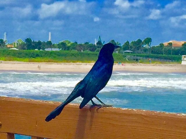 Pássaro no Píer em Juno Beach