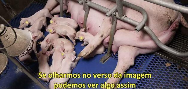 porquinhos