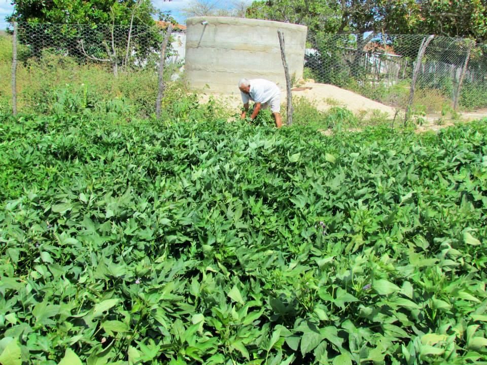 Agricultor da Paraíba em sua plantação de batata doce, irrigada graças a uma cisterna-calçadão e  de um tanque em pedra; crédito: Divulgação