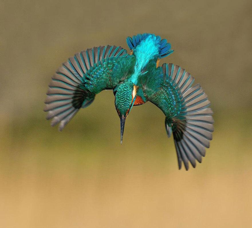 O vôo de um martim-pescador clicado por Alan