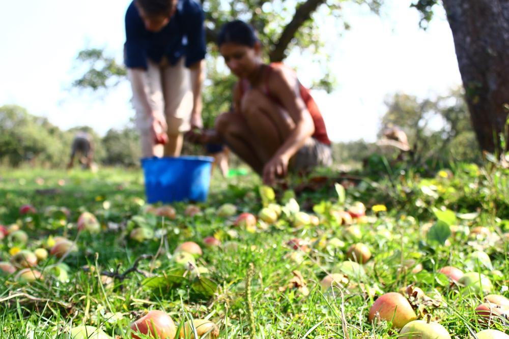 Colheita de maçã em árvore pública na Alemanha