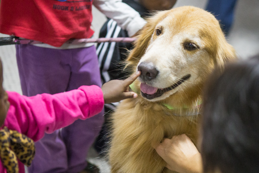 Criança interage com cão golden retriever voluntário do projeto Melhor Amigo do Refugiado