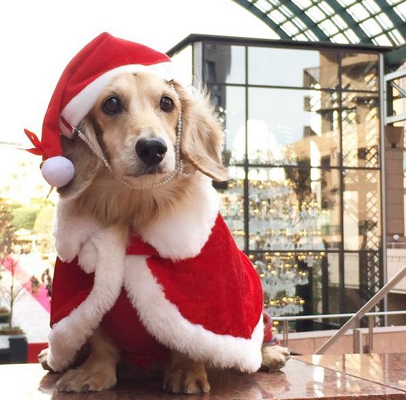 50 Cachorros Vestidos Para O Natal